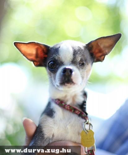 Abby hercegnõ a világ legcsúnyább kutyája?!