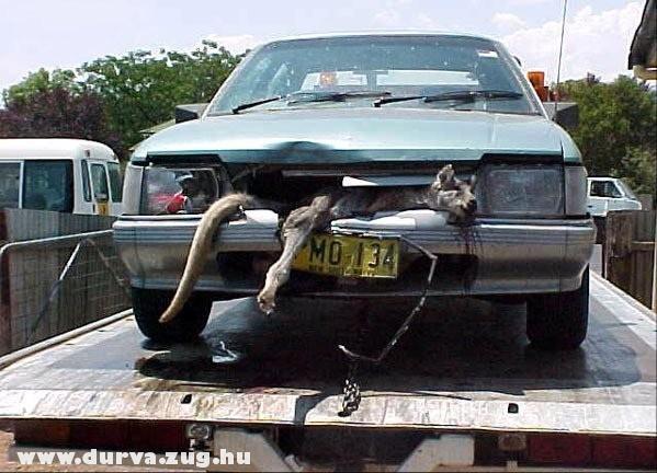 Szegény kenguru