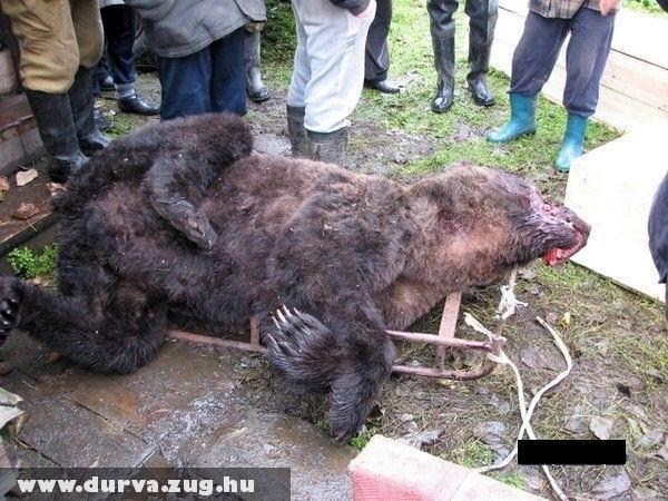 Kivéreztetett medve