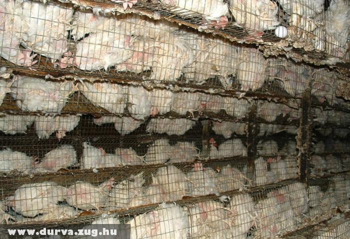Tömeges állattartás - durva állatkínzás
