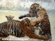 Tigrisbunyó