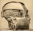 Az emberi fej belürõl